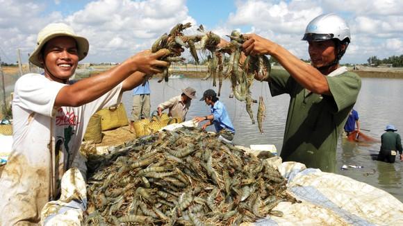Niềm vui được mùa tôm xuất khẩu  của nông dân Đồng bằng sông Cửu Long. Ảnh: HUỲNH LỢI