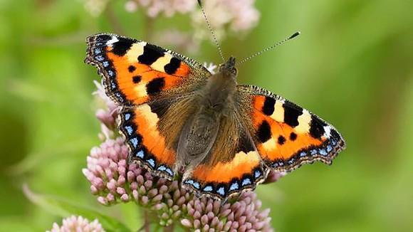 Một loại bướm đầm lầy đang bị đe dọa tuyệt chủng ở Anh
