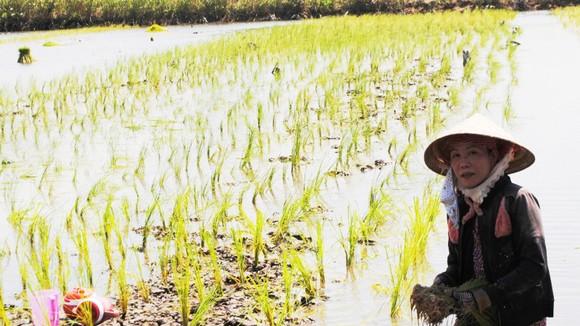 Do hệ thống thủy lợi chưa hoàn chỉnh, nên người dân sản xuất lúa tôm tại ĐBSCL còn bấp bênh