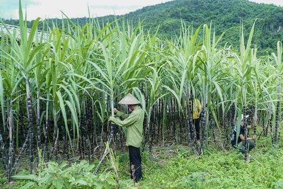 Nông dân trồng mía khó khăn vì mía giá rẻ, đường ngoại ồ ạt tràn vào do được trợ cấp và bán phá giá.