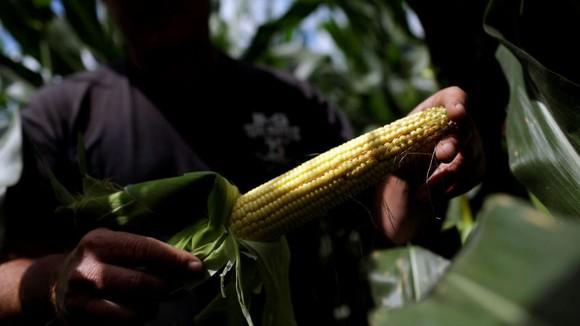 A Bellevue, Iowa farmer poses for a portrait in his corn field.   © Reuters