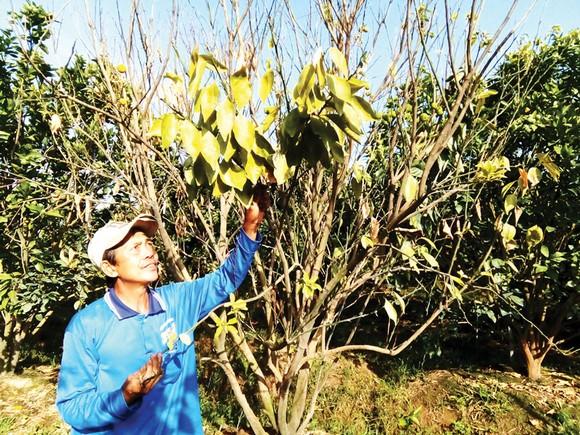 Dịch bệnh vàng lá làm cây chết tràn lan