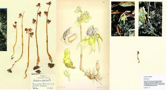 Tài liệu về loài hoa phong lan ma hiếm có ở Anh