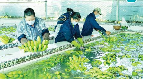 Sơ chế chuối phục vụ xuất khẩu ở ĐBSCL. Ảnh: NGUYỄN THANH