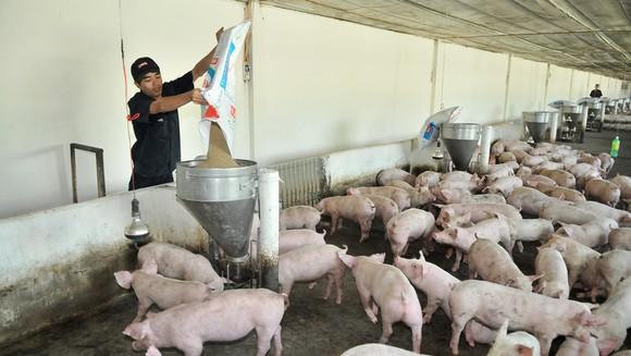 Trang trại heo tại tỉnh Bình Thuận của Công ty Vissan - doanh nghiệp nhiều năm tham gia chương trình bình ổn thị trường. Ảnh: CAO THĂNG