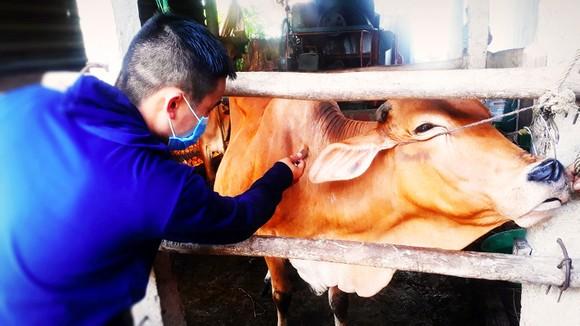 Cán bộ thú y tiêm vaccine phòng bệnh viêm da nổi cục cho đàn bò ở xã Mỹ Lộc, huyện Phù Mỹ, tỉnh Bình Định. Ảnh: NGỌC OAI