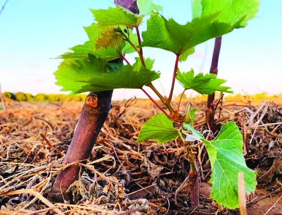 Khởi nghiệp trồng nho ở xứ Dừa ảnh 2