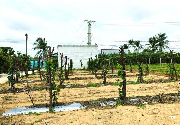 Khởi nghiệp trồng nho ở xứ Dừa ảnh 5