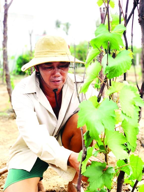 Khởi nghiệp trồng nho ở xứ Dừa ảnh 4