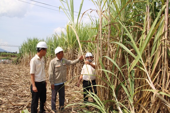 Doanh nghiệp và nông dân bắt tay phát triển vùng nguyên liệu mía ảnh 1