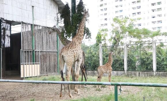 Gia đình hươu cao cổ tại Thảo Cầm Viên Sài Gòn. Ảnh: KIỂU PHONG
