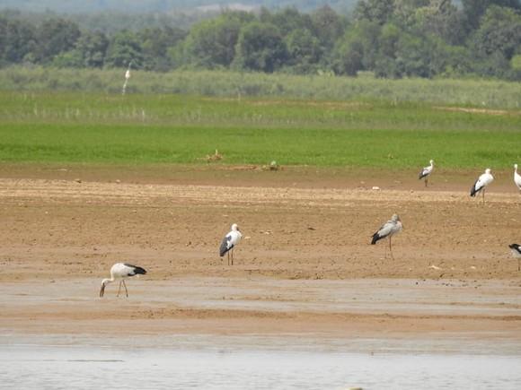 Hàng trăm con chim giang sen quý hiếm xuất hiện ở Khu bảo tồn Thiên nhiên Văn hóa Đồng Nai  ảnh 2