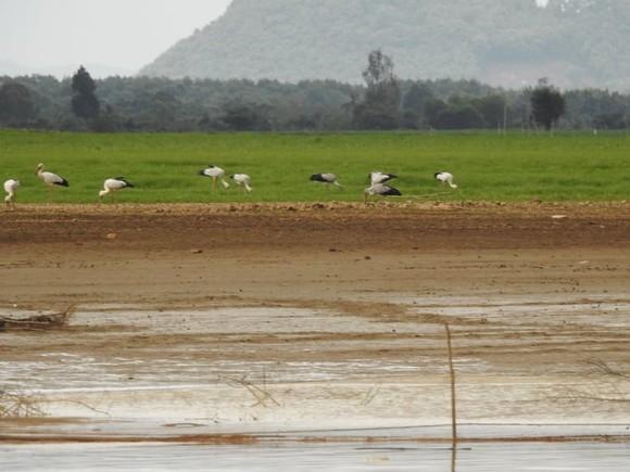 Hàng trăm con chim giang sen quý hiếm xuất hiện ở Khu bảo tồn Thiên nhiên Văn hóa Đồng Nai  ảnh 1