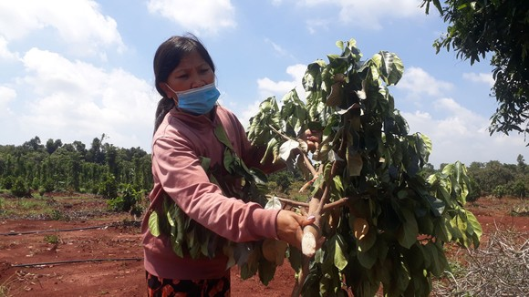 Vụ 500 cây ăn quả bị chặt phá ngang gốc: Huyện Xuyên Mộc có văn bản yêu cầu công an huyện vào cuộc ảnh 5