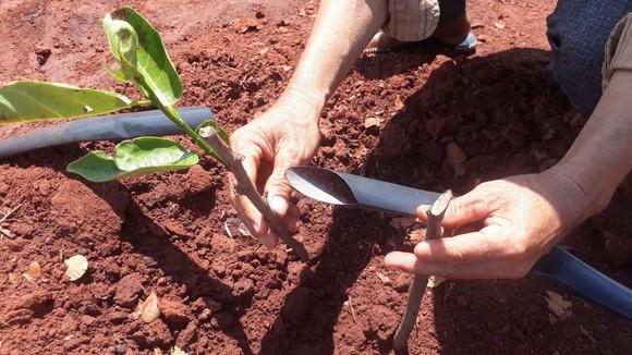 Vụ 500 cây ăn quả bị chặt phá ngang gốc: Huyện Xuyên Mộc có văn bản yêu cầu công an huyện vào cuộc ảnh 6