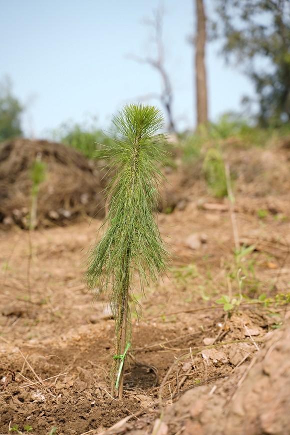 """Phủ xanh 2.000 cây Thông Mã Vĩ trên đồi cây """"Dâng Bác – Ơn Thầy"""" ảnh 20"""