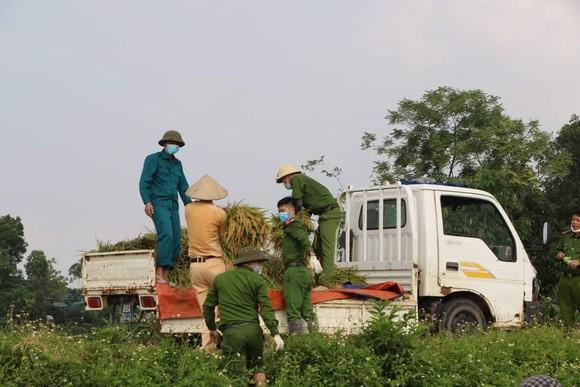 Công an xuống đồng thu hoạch lúa giúp dân đang cách ly y tế ảnh 1