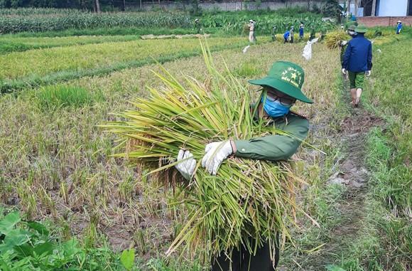 Công an xuống đồng thu hoạch lúa giúp dân đang cách ly y tế ảnh 7