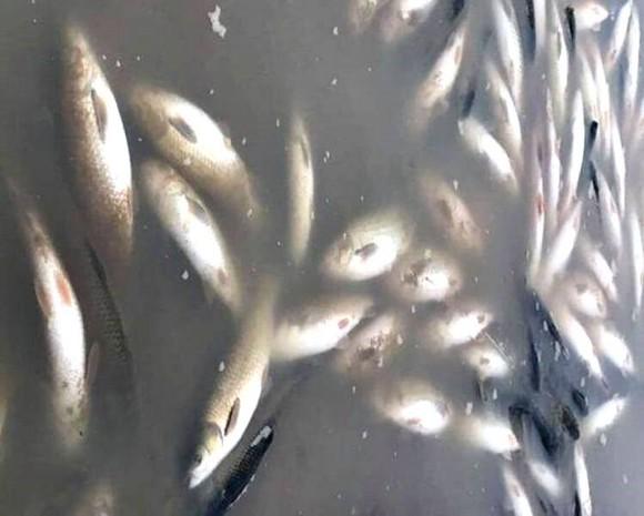 Nguồn nước ô nhiễm làm cá chết hàng loạt. Ảnh: Q.D.