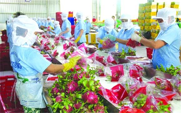 出口中國的火龍果。