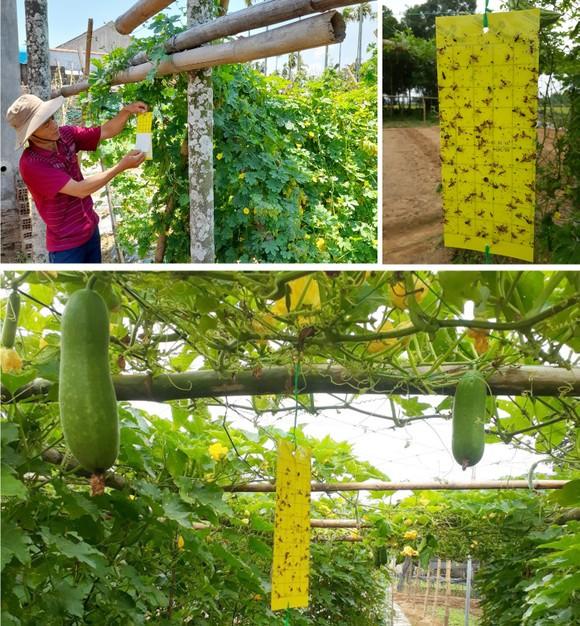 Nông dân tự làm bẫy sinh học, trừ sâu thảo mộc để trồng rau hữu cơ ảnh 12