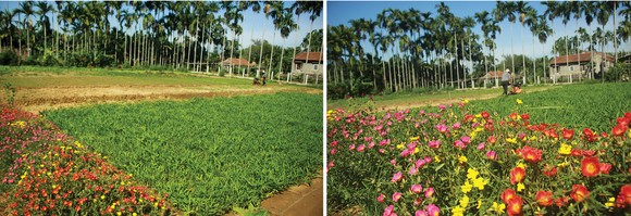 Nông dân tự làm bẫy sinh học, trừ sâu thảo mộc để trồng rau hữu cơ ảnh 3