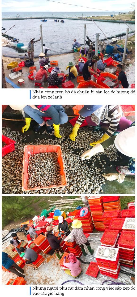 Thu hoạch ốc hương trước mùa mưa bão ảnh 12