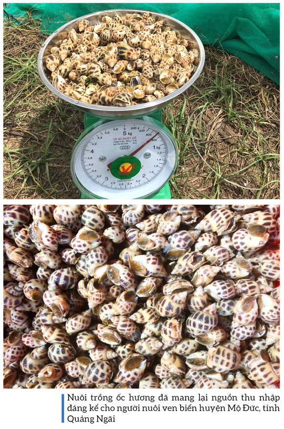 Thu hoạch ốc hương trước mùa mưa bão ảnh 15