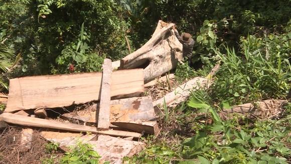 Vụ phá rừng quy mô lớn ở Đắk Lắk: Phát hiện thêm 500m³ gỗ ảnh 2