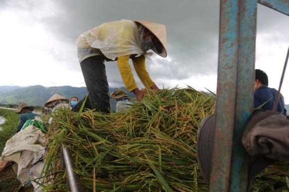 Đắk Lắk: Người dân 'chạy đua' với nước lũ để cứu lúa ảnh 9