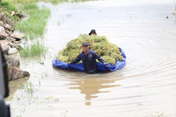 Đắk Lắk: Người dân 'chạy đua' với nước lũ để cứu lúa ảnh 3