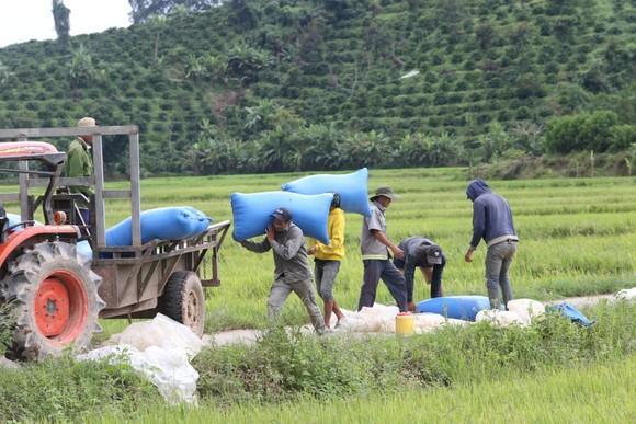 Đắk Lắk: Người dân 'chạy đua' với nước lũ để cứu lúa ảnh 8