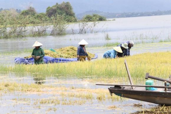 Đắk Lắk: Người dân 'chạy đua' với nước lũ để cứu lúa ảnh 1