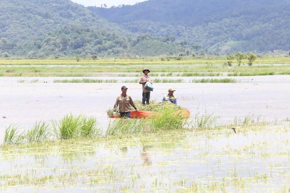 Đắk Lắk: Người dân 'chạy đua' với nước lũ để cứu lúa ảnh 6