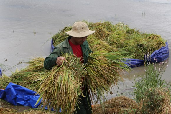 Đắk Lắk: Người dân 'chạy đua' với nước lũ để cứu lúa ảnh 5