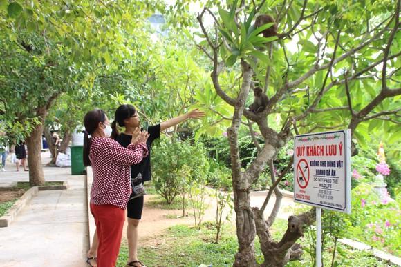 Báo động tình trạng khỉ trên bán đảo Sơn Trà thay đổi tập tính ảnh 2