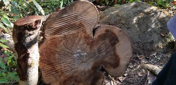 Tận thu gỗ dự án, cưa hạ thêm gỗ trái phép ảnh 3