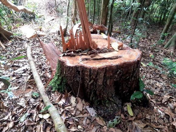 Gia Lai: Khởi tố vụ phá rừng ở xã Hra ảnh 1