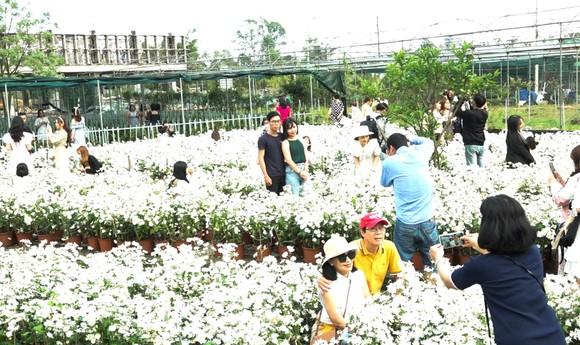 Với 20.000 cây cúc hoạ mi trong vườn ươm rộng 300 m2, đây là lần thứ 2 cúc họa mi được ươm trồng trái vụ và thành công tại TP Đà Nẵng