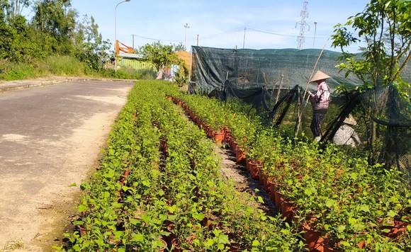 Đà Nẵng: Người dân hào hứng với vườn cúc họa mi trái mùa  ảnh 8