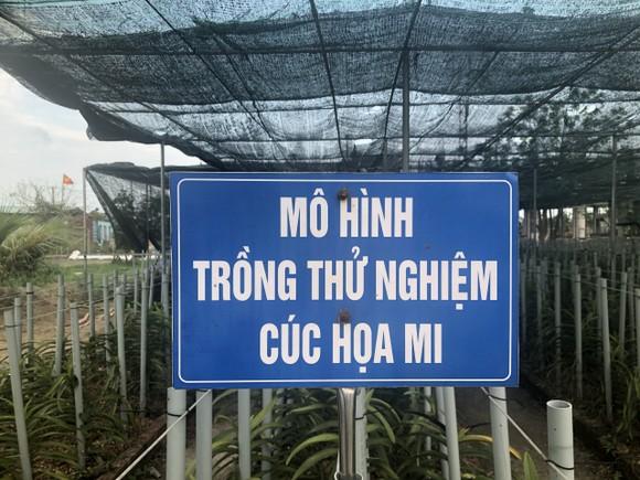 Đà Nẵng: Người dân hào hứng với vườn cúc họa mi trái mùa  ảnh 1