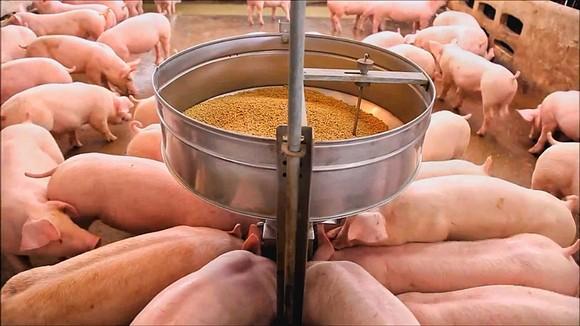 Mô hình chăn nuôi heo gia công theo hướng an toàn sinh học đạt hiệu quả cao