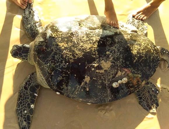 Rùa biển nặng hơn 100 kg mắc lưới ngư dân ảnh 1