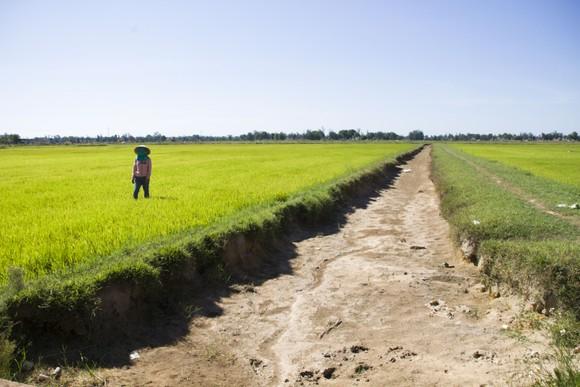 Quảng Trị: Đồng ruộng nứt nẻ, cây lúa héo khô ảnh 1