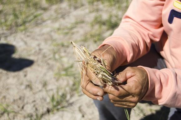 Quảng Trị: Đồng ruộng nứt nẻ, cây lúa héo khô ảnh 6