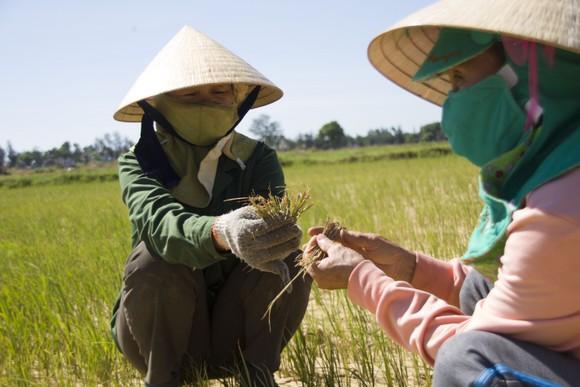 Quảng Trị: Đồng ruộng nứt nẻ, cây lúa héo khô ảnh 5