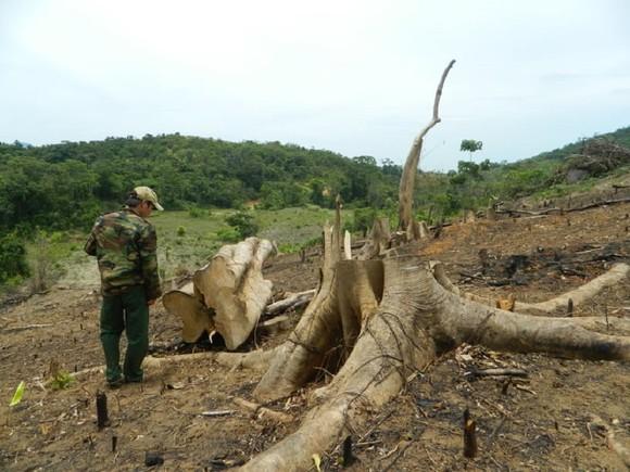 Hàng chục cây rừng tự nhiên ở Quảng Trị bị cưa hạ trái phép ảnh 1