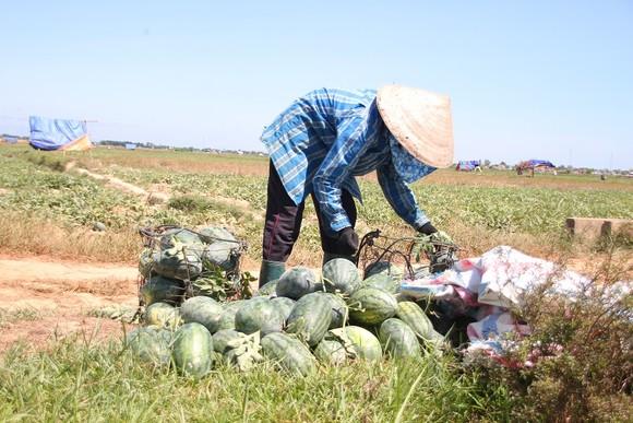 Trồng dưa hấu trên đất lúa mùa khô hạn cho thu nhập cao ảnh 4