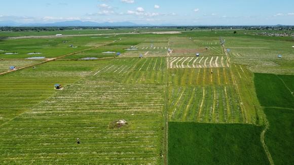 Trồng dưa hấu trên đất lúa mùa khô hạn cho thu nhập cao ảnh 8
