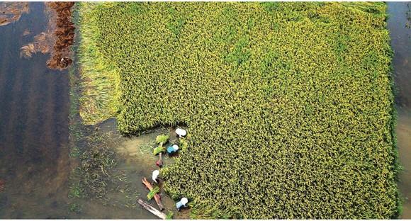 Nông dân miền Trung dầm mình cứu lúa sau mưa bão  ảnh 31